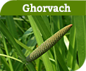 Ghorvach